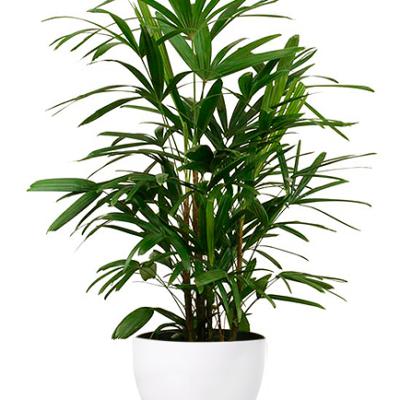 Grüne Zimmerpflanze in weißem Topf